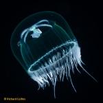 Laodicea undulata, subadult medusa; Florida, western Atlantic