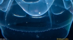 Pseudaegina rhodina medusa; Florida, western Atlantic Ocean