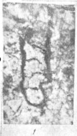 Caligella borovkensis Antropov, 1950