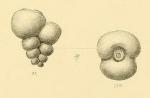 Palaeotextularia schellwieni Galloway & Ryniker, 1930