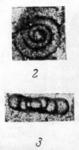 Ammodiscus priscus Rauzer-Chernousova, 1948