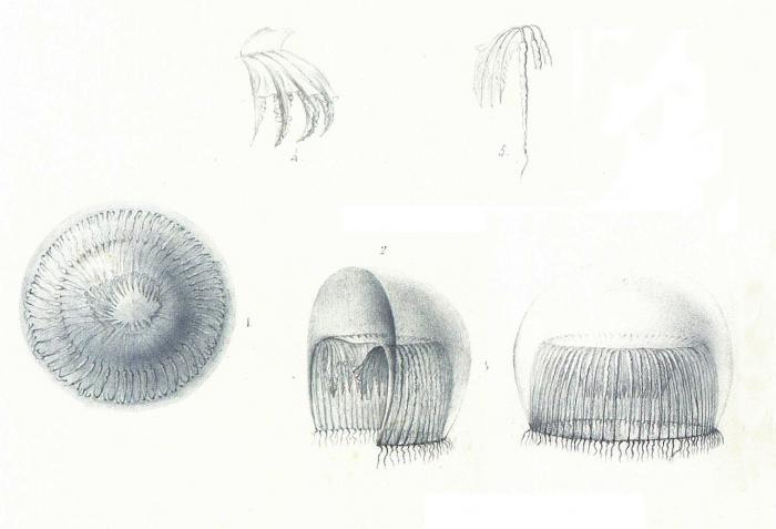 Aequorea allantophora [=Aequorea forskalea], scan of illustrations of Péron & Lesueur