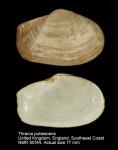 Thracia pubescens