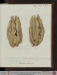 Spongia plicata Esper, 1806