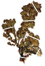 Ptilophora spongiophila G.H.Boo, L.Le Gall, I.K.Hwang, K.A.Miller & S.M.Boo, 2018