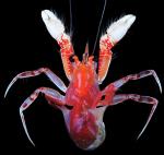 Paguropsis confusa Lemaitre, Rahayu & Komai, 2018