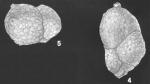 Karreriella colligera (Egger) identified specimen