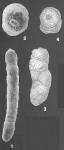 Martinottiella bradyana (Cushman) identified specimens