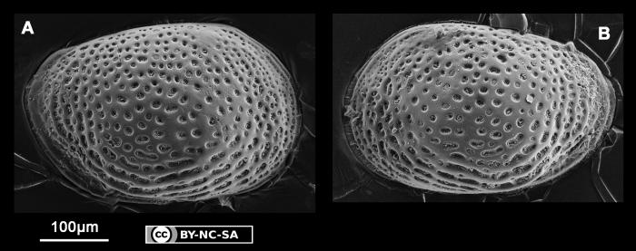 Loxoconcha sp. 1