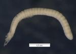 Aulophorus furcatus (habitus)