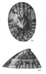 Testudinalia tessellata shell
