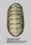 Acanthochitona pygmaea