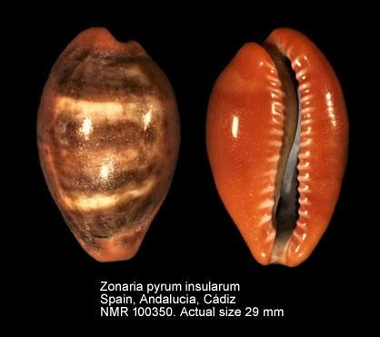 Zonaria pyrum