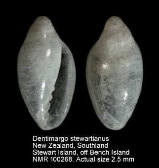 Dentimargo stewartianus