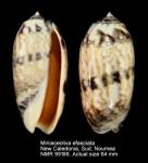 Miniaceoliva efasciata