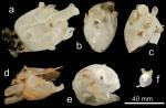 Coelosphaera (Coelosphaera) koltuni