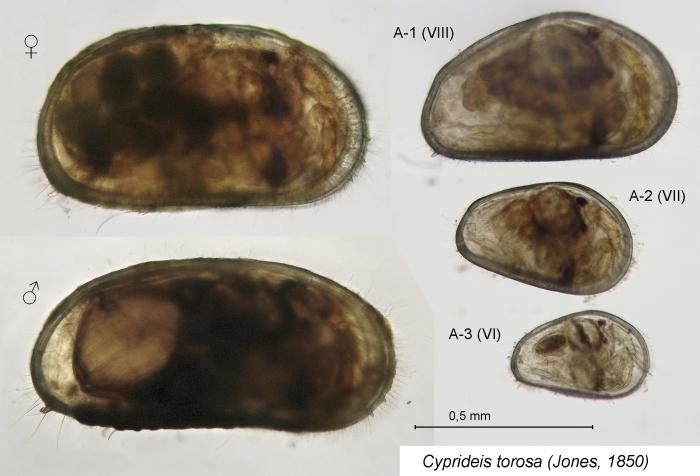 Cyprideis torosa (Jones, 1850)