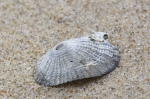 Fossile shell common keyhole limpet