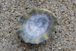 Shell of common limpet