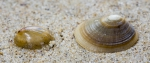 Shell blue-rayed limpet