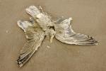 Cadaver European herring gull