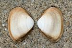 Shell subtruncate surf clam