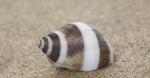 Shell northern dog whelk