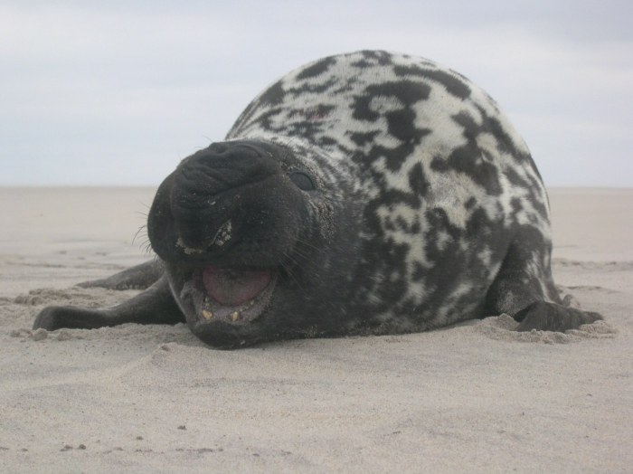 Cystophora cristata - hooded seal