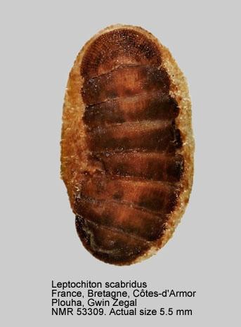 Leptochiton scabridus