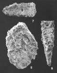 Textularia Milletti Cushman Identified Specimen