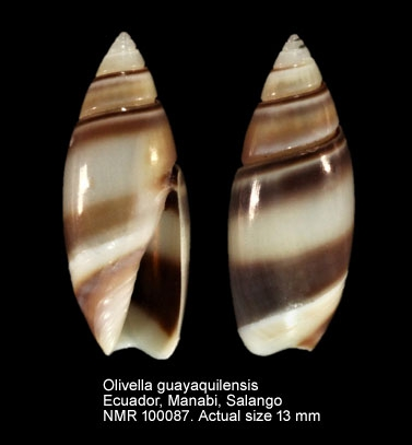 Olivella guayaquilensis