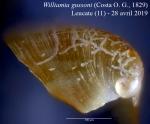 Williamia gussoni (Costa O. G., 1829)