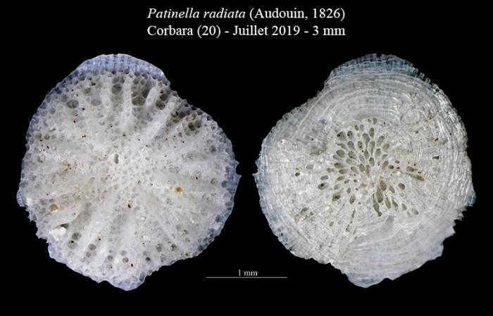 Patinella radiata