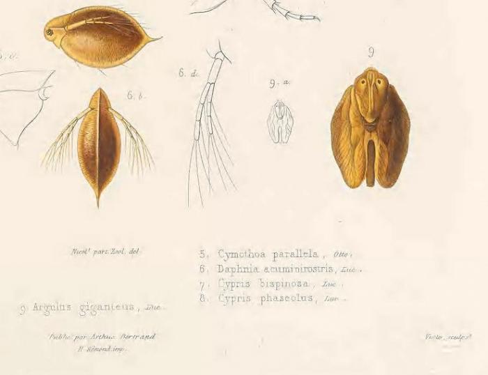 Argulus giganteus Lucas