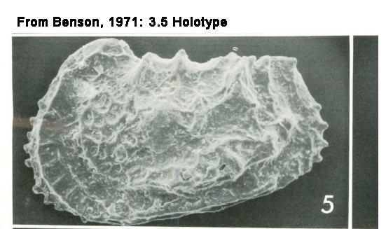 Holotype of Abyssocythere japonica