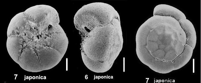 Ammonia japonica (Hada, 1931)