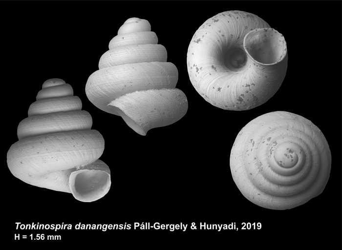 Tonkinospira danangensis Páll-Gergely & Hunyadi, 2019