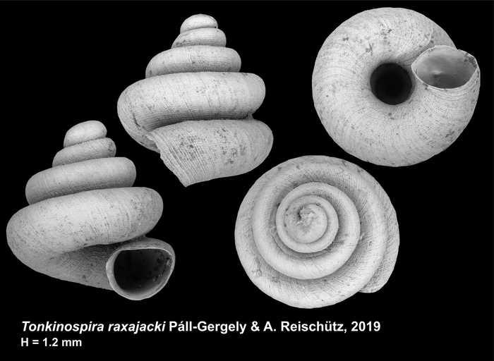 Tonkinospira raxajacki Páll-Gergely & A. Reischütz, 2019
