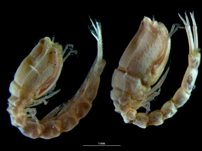 Bodotria scorpioides
