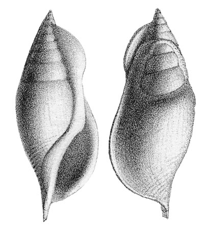 Rostellaria sublaevigata (Deshayes, 1865); In Deshayes, 1866, pl. 90, figs. 5, 6