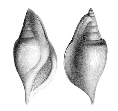 Rostellaria humerosa in Deshayes, 1866, Pl. 91, figs. 8, 9