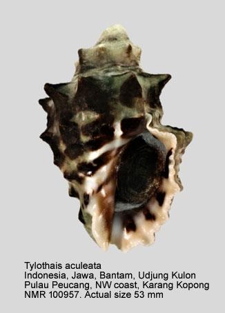 Tylothais aculeata