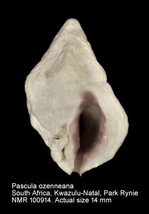 Pascula ozenneana