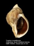 Trophon nucelliformis
