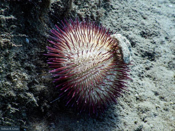 Lytechinus variegatus carolinus, Florida, West Palm Beach