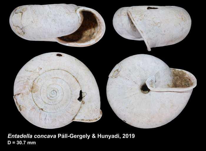 Entadella concava Páll-Gergely & Hunyadi, 2019