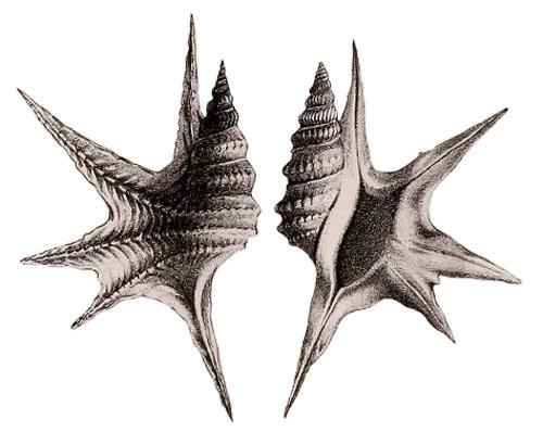 Rostellaria serresiana Michaud, 1828, pl. 1, fig. 3, 4