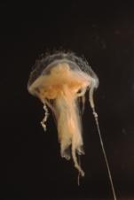 medusa swimming