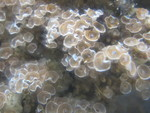 Colony with many open polyps