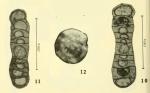 Tubispirodiscus simplissimus Browne & Pohl, 1973